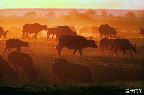 夕阳下的非洲草原--成群的野牛