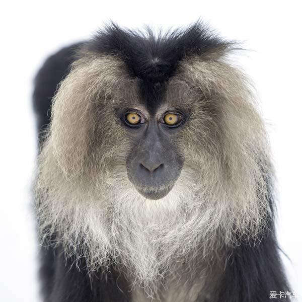 2016年 申猴之年,在中国,这个生肖年具有相当独特的含义和文化。  在生肖的配属中,申猴是相匹配的。猴非家畜,与人的日常生活中的关系,比不上六畜来的密切。可是,尽管中华各个民族的生肖名单不尽相同,但是也都把猴归为其中的一员;国内外的生肖名单参错不一,但是也少不了猴,这也正从一个侧面凸显了猴的魅力。 据有关史料记载,十二生肖早在先秦时期便已出现,最迟在东汉时定型,至唐以后在全国普遍应用,并影响到东亚周边国家。斗转星移,送走未羊,迎来申猴,为啥要把猴与申时相对应呢?