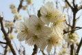 又到阳春三月,汉中西乡樱桃沟赏樱桃花