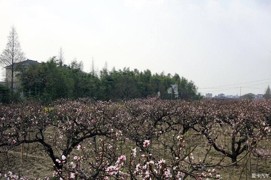 厅桃园(王厅桃海)只见千亩连片桃林一望无际,穿梭在桃园小道漫步赏花图片