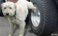 狗狗总爱在轮胎上撒尿三招教你怎么预防