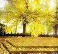 都江堰的银杏