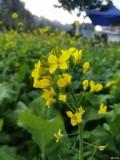 今年兴义万峰林的油菜花正旺,罗平菜花啥样了?