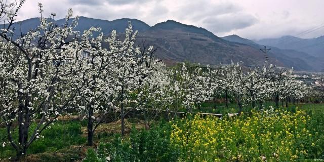周末九襄赏花,一树梨花压海棠…