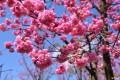 忘记三生三世的桃花,欣赏樱花,花美车更美