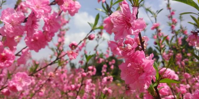 只要一生一世,别样赏桃花!