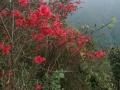我爱满山的红杜鹃