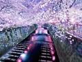 日本最美樱花