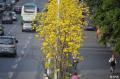 成都从蓉城升级为黄蓉城。。。成都街头刮起唯美风黄花风铃木