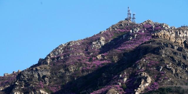大黑山上的映山红