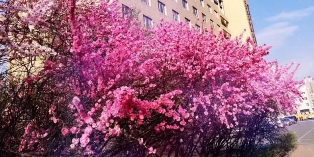 【最喜欢大红色的C4L了】大美全新C4L以及大美街边春花美景