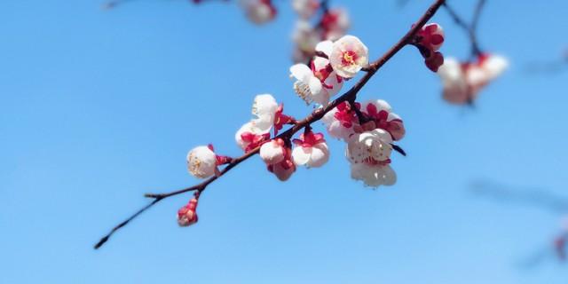 【斟心】【丁酉春之杏花】