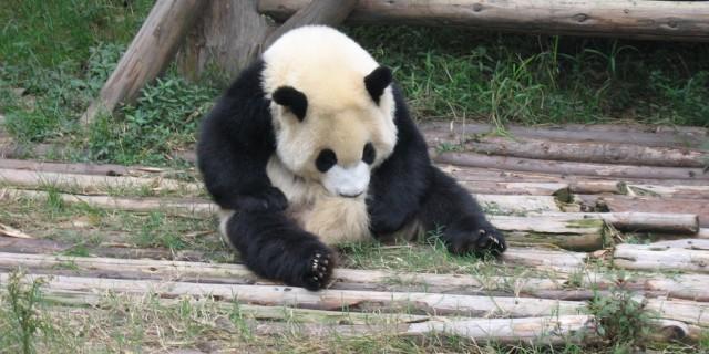 憨态可掬的熊猫宝宝
