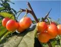 大连樱桃快要熟了,好想吃黄樱桃