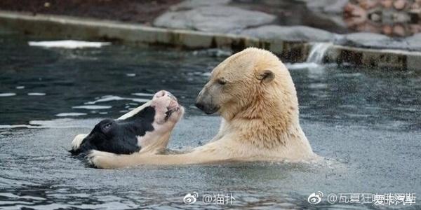 汽车论坛大全 标致307论坛 03 正文  动物园里北极熊和牛水池里温情