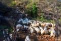 摘柿子、放羊, 在麻麻花的山坡过一个难忘的生日