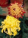 爱像菊花儿 盛开在静谧的季节里