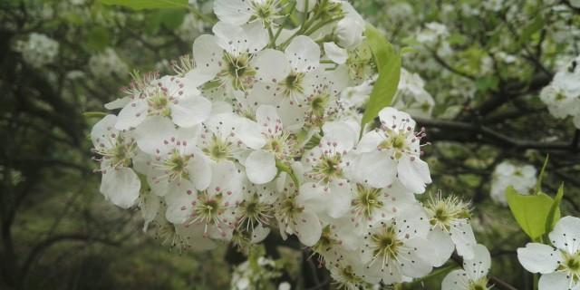 钦州的梨花,要赏须趁早喽