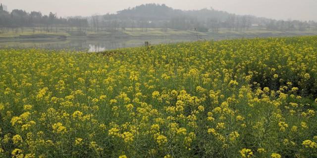 周五内江沱江边踏青赏花,农家乐吃烧鸡公