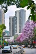 柳州的转变,即将成为紫荆花主题公园城市