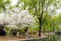 北京玉渊潭公园樱花