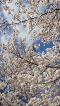 韩国的樱花已经盛开
