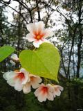 油桐花,花开无语,芳华烁烁;花落无言,余香阵阵,花无百日红