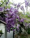 中山公园:千年紫藤花又开