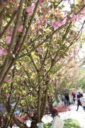 樱花树下有你有我-----重庆哈佛H2车友会