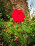 人间四月芳菲尽,盛山玫瑰始盛开