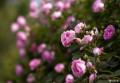 最美妙的时刻~在蔷薇花下
