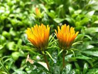 我家的花花草草第九集-梅雨季节花又开