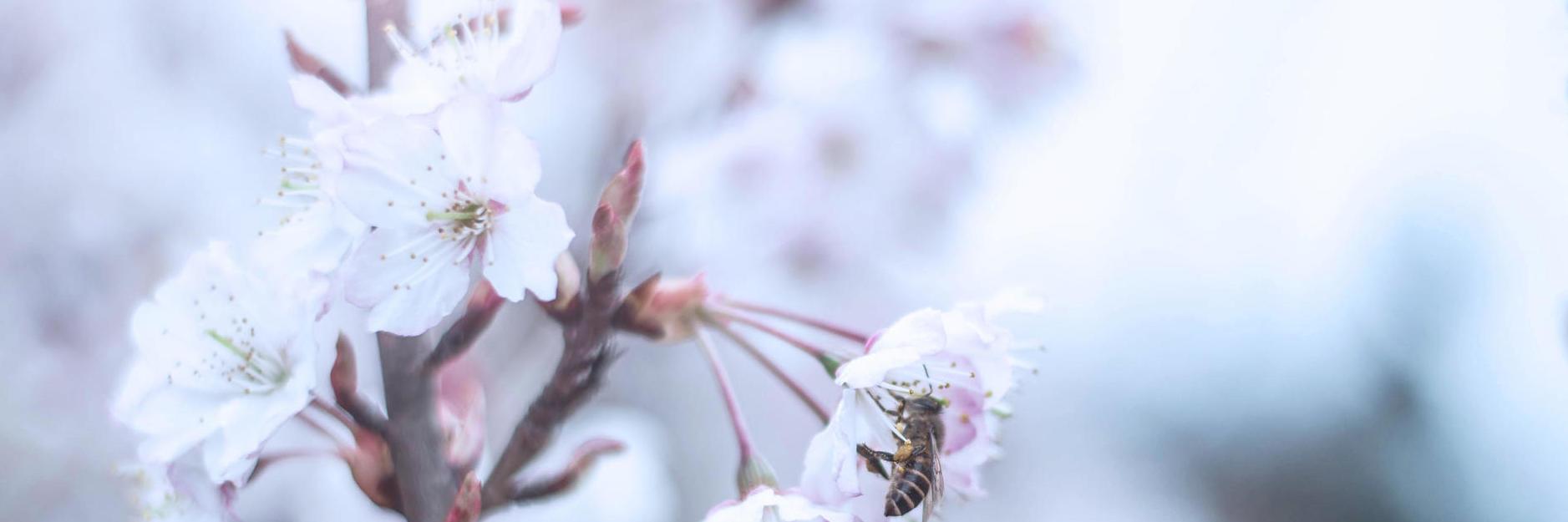 择个好天气,我们出发!看樱桃花!