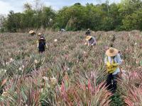 2020年,劳作在海南的菠萝地海