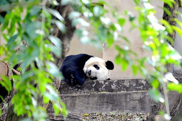 【2020】成都看大熊猫