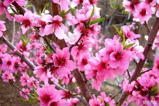 漫步云深处,静读桃花开。