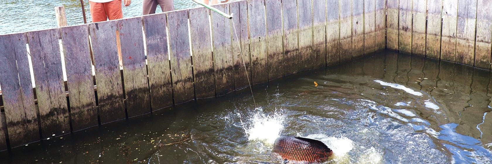 【自驾达人秀】亚马逊探访土著部落钓巨骨舌鱼看粉色河豚