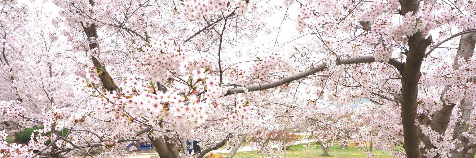 暮春时节,邂逅一场浪漫,与樱花一起入梦