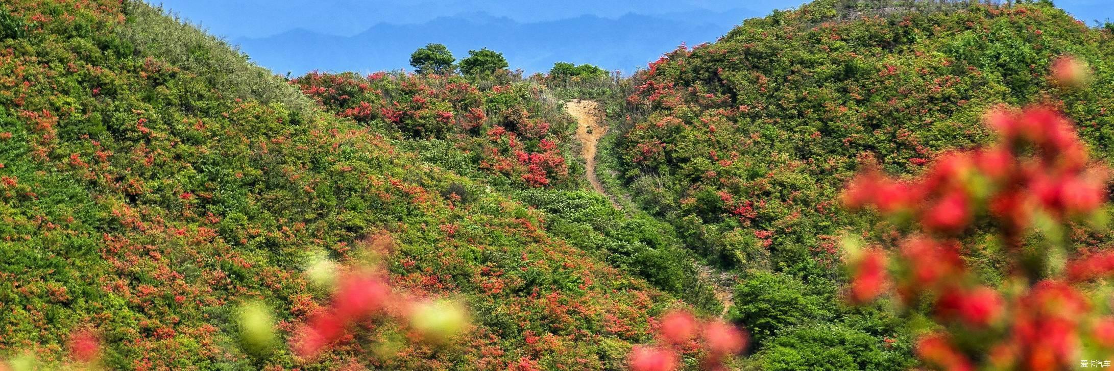 自驾浏阳大围山,岭上开遍映山红