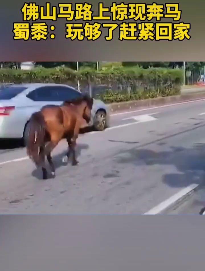 佛山马路上惊现奔马,蜀黍:玩够了赶紧回家!