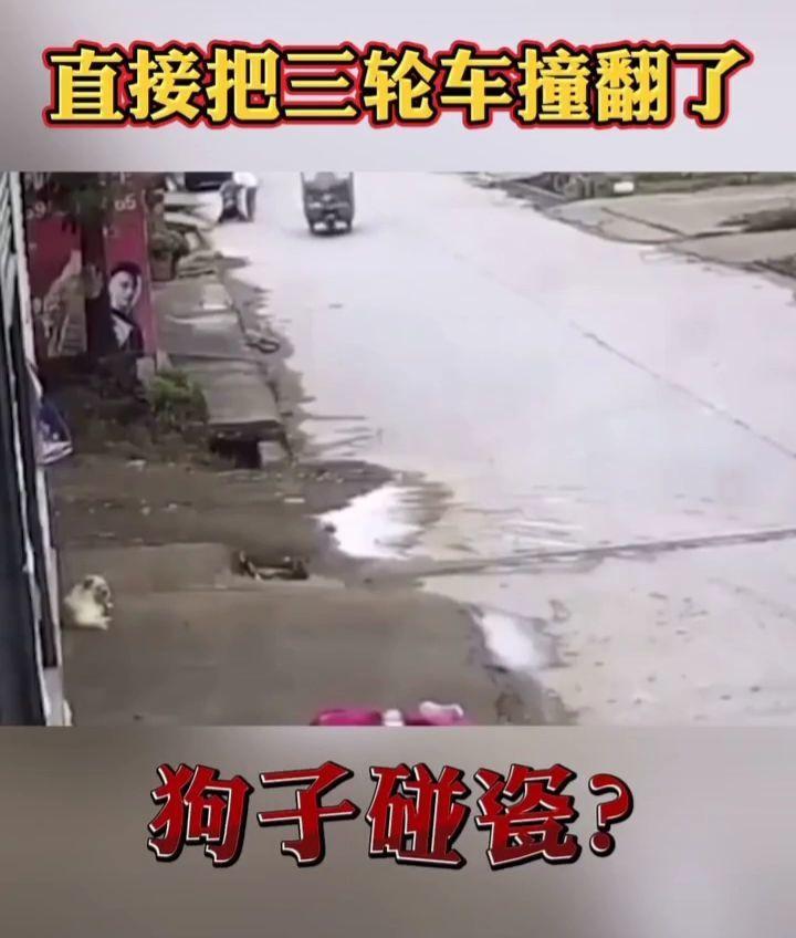 狗子碰瓷?直接把三轮车撞翻了!