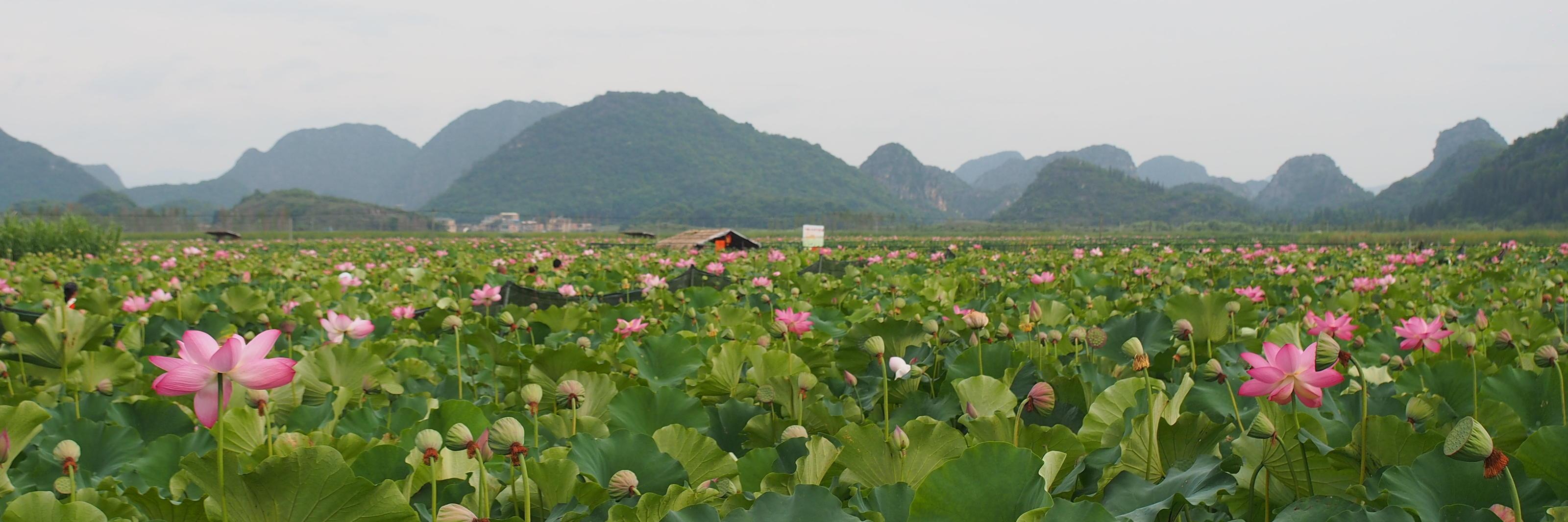 云南這個盛滿魚蝦的湖泊,荷花遍地開,最全的兩日游攻略看過來