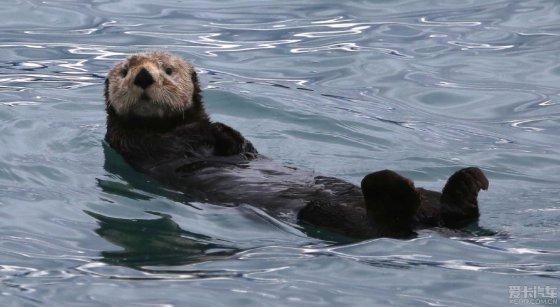介绍一种可爱的阿拉斯加特有的海洋生物--海獭