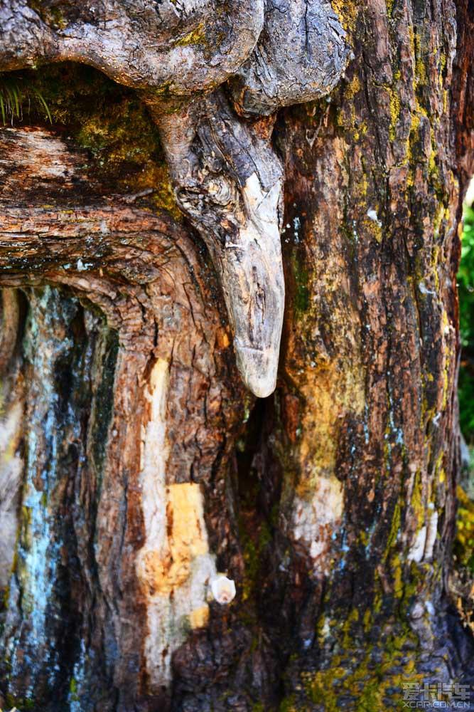 神树上雄性为山核桃树,雌性是沙棘树.