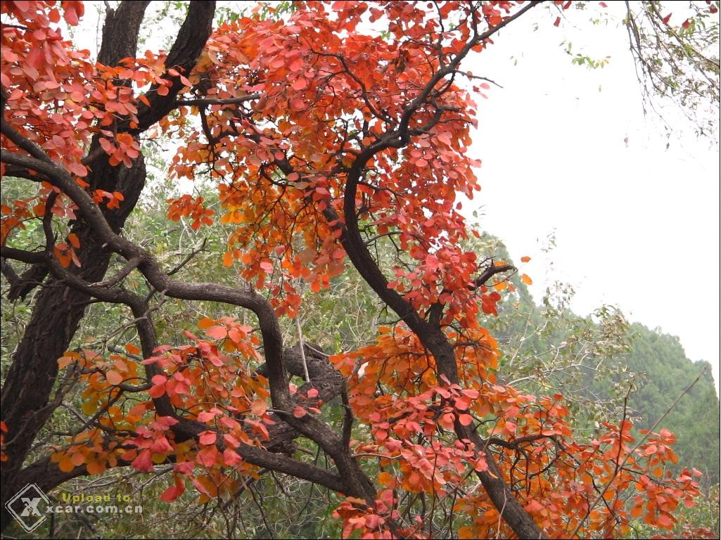香山的红叶!图片
