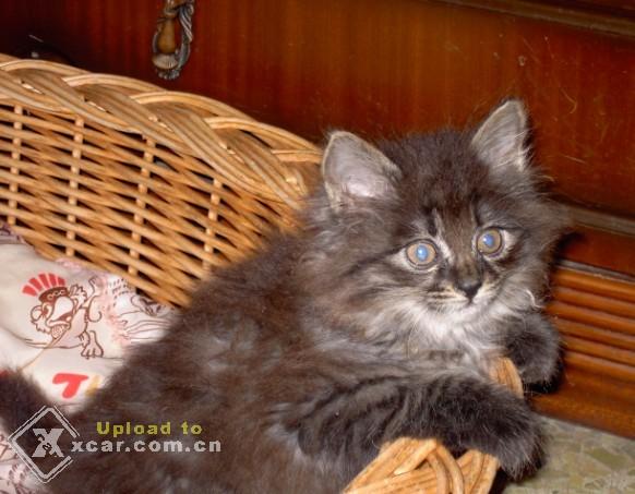 yy小猫咪-她非常可爱,会拧门把手,会和人说话经常欺负狗GG,把GG碗里的肉图片