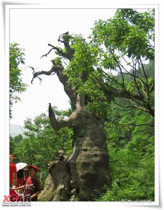 松 松树 植物