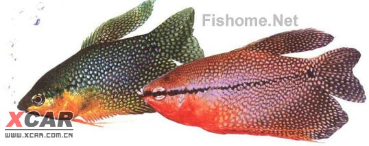 珍珠马甲,又名:珍珠鱼(李氏毛腹鱼) trichogaster seeri 科名:攀鲈