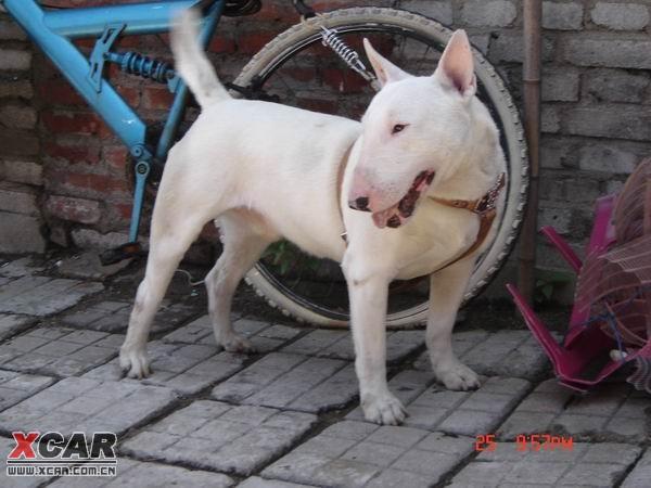 世界上最凶猛的十四种犬(图)