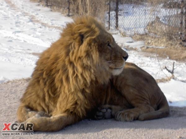 雪中的非洲雄师--八达岭野生动物园